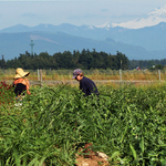 Harvest in the Shadow of Snowy Mount Baker